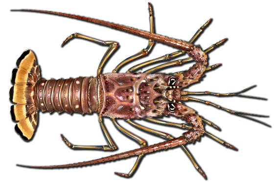 CaribbeanSpinyLobster 560 2