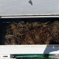 August 6-10, 2014 - LobsterFest Spearfisherman.com style